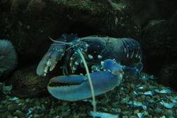 Gross_lobster_doing_gross_stuff