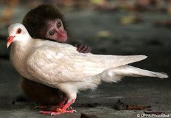 Pigeonmonkeypic_4